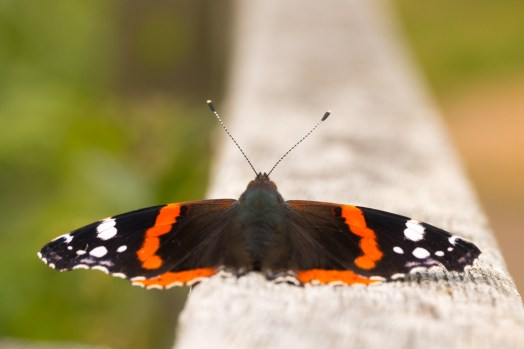 A Red Admiral butterfly, sunbathing on the bridge by the Holme Fen posts. Photos from Holme Fen on July 14th 2016.