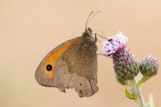 Meadow Brown butterfly on a thistle flower. Photos from New Decoy Farm on July 14th 2016.