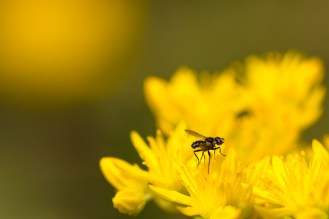Tiny fly on a stonecrop flower.