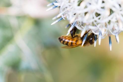 Honey bee underneath an echinops flower.
