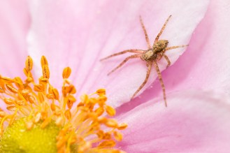 A running crab-spider hanging about on a Japanese anemone flower.
