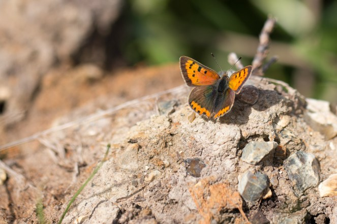 Small Copper butterfly resting in the sun. Photos from RSPB Ouse Washes.