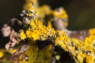 Xanthoria parietina lichen brightening up the leafless branches. Photos from Titchmarsh nature reserve in Northamptonshire.