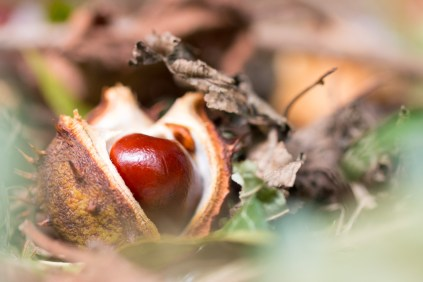 A fresh shiny conker inside its protective shell. Photos from a trip to Wildlife Trusts Summer Leys LNR in early October.