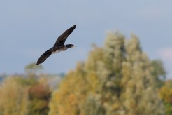 A magnificent Cormorant flying over Moore Lake. Photos from a trip to RSPB Fen Drayton Lakes nature reserve.