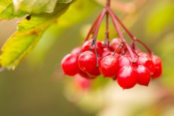 The bright translucent berries of a Guelder rose. Despite the common name this isn't a rose at all, but actually a species of viburnum. Photos from a trip to RSPB Fen Drayton Lakes nature reserve.