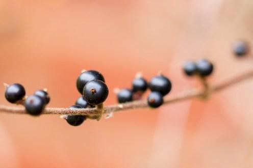 Japanese Honeysuckle berries in the garden.