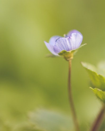 The pretty little flowers of common field-speedwell opening up in the garden.