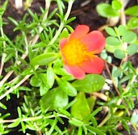 Portulaca red flower g