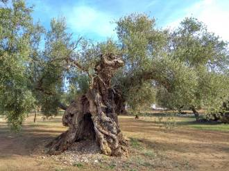 Oliveres_Millenaries_Feature_05