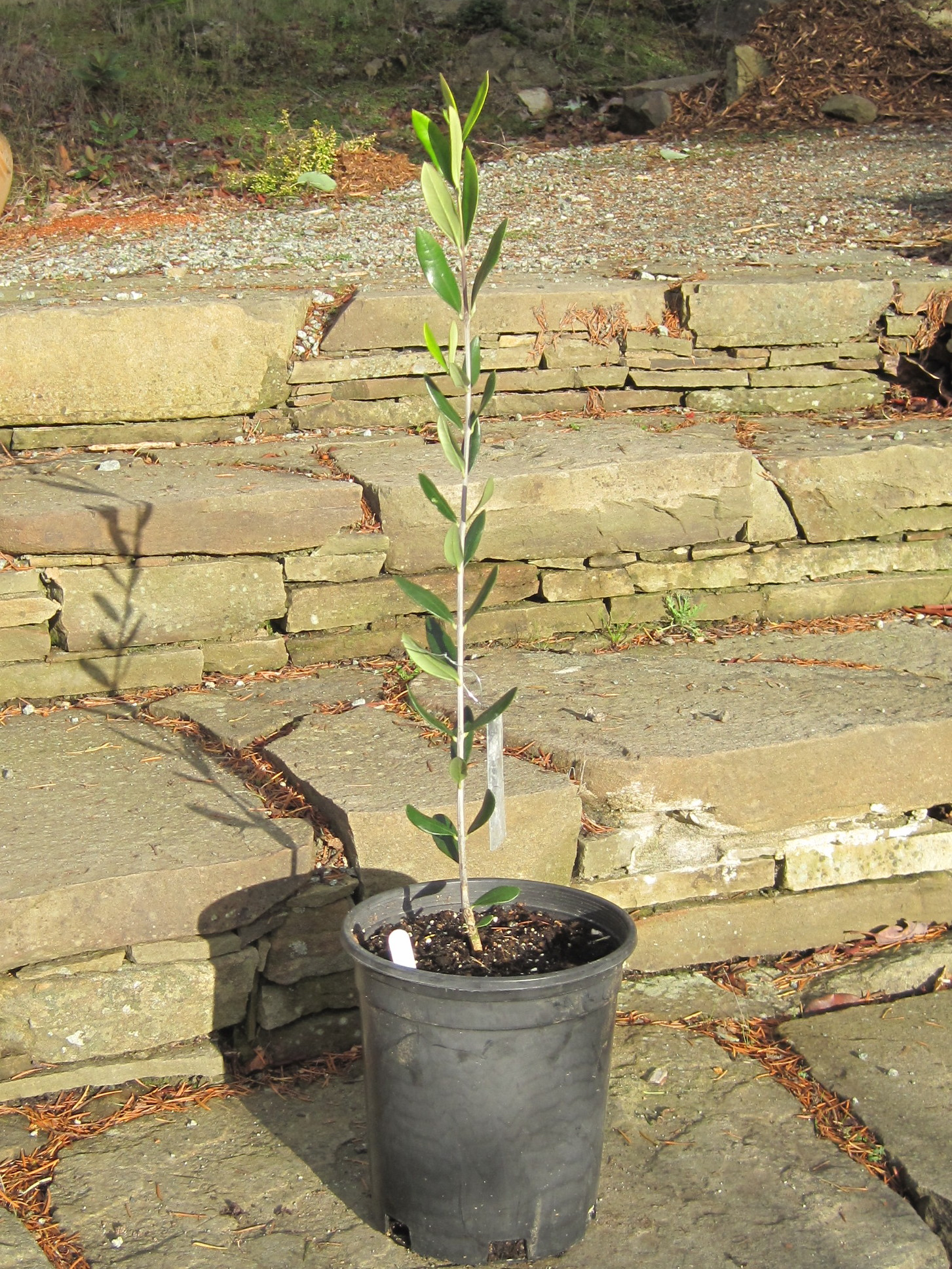 Saturna olive consortium blog archive whips for Pruning olive trees in pots