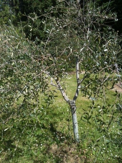 Saturna olive consortium waterlea pruning for Pruning olive trees in pots