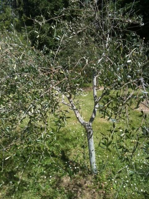 saturna olive consortium waterlea pruning