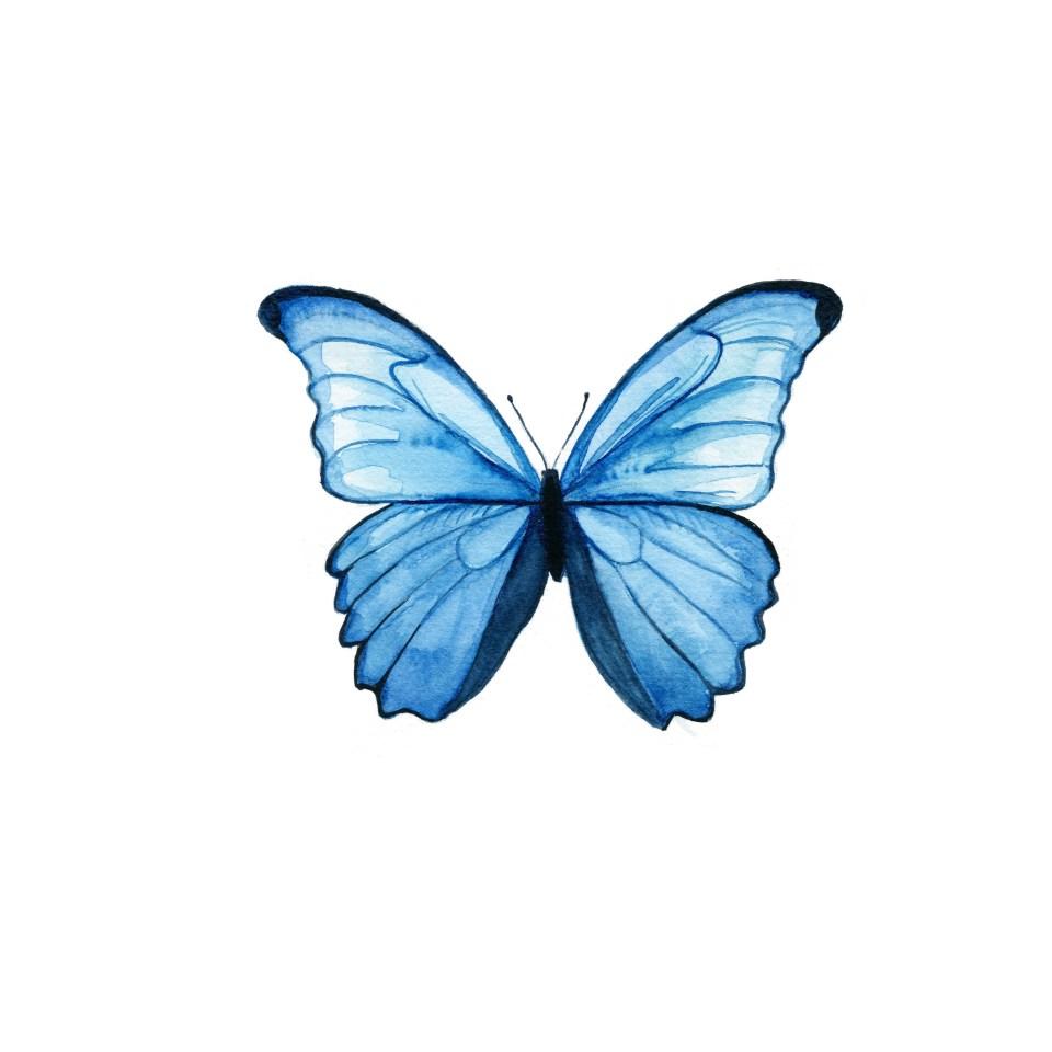 Morpho portis Butterfly
