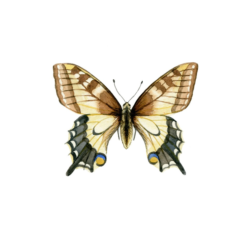 Papilio machaon Butterfly