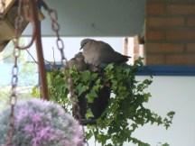 Een nest Tortelduiven op een balkon