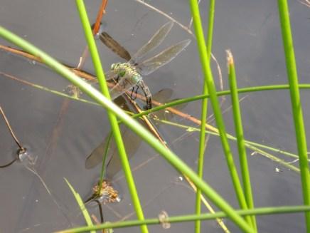 Een Grote keizerlibel-vrouwtje is net bezig eieren af te zetten.
