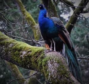 Peacock c