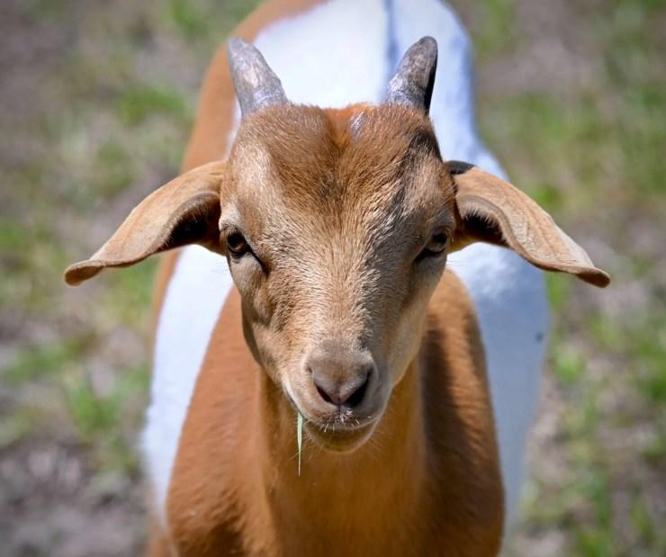 01-Goat