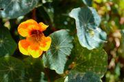 09 cusco flower