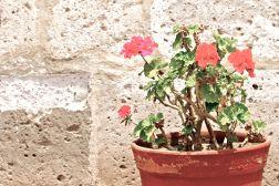 21 arequipa claustros begonia