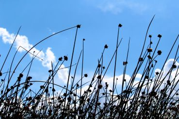 the flowers at the tops of the reeds are used as a medicinal tea.