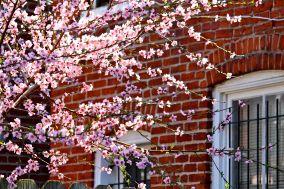 07 brick house cherry blossoms
