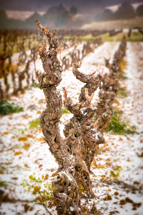 A vine in winter, under the snow