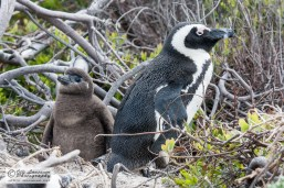 20080829-IMG_8627_jackass penguin