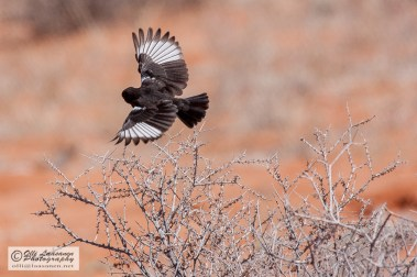 Southern Anteater-chat - Muurahaistasku