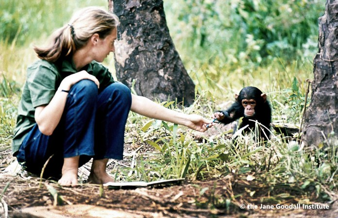 Jane Goodall in Gombe_Copyright the Jane Goodall Institute by Hugo Van Lawick