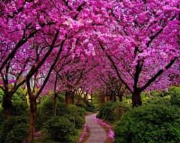 caminho de cerejeiras