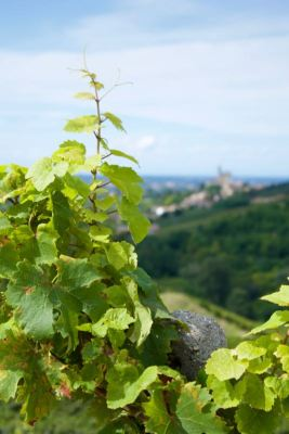 close-up of a vine, near Oliva Gessi. On the background, out of focus, Torricella Verzate