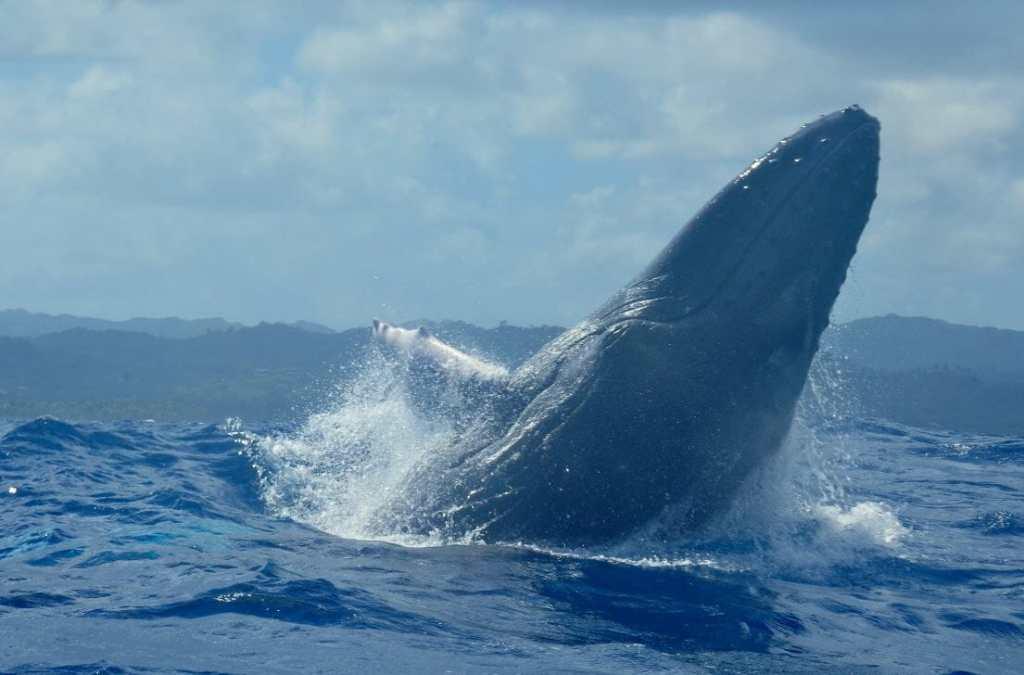 baleines las galeras samana whale dominicaine