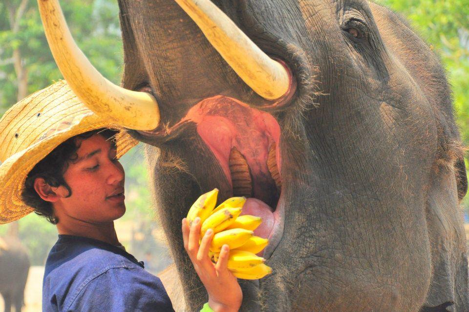 Elephant à Chiang Mai, Thailande