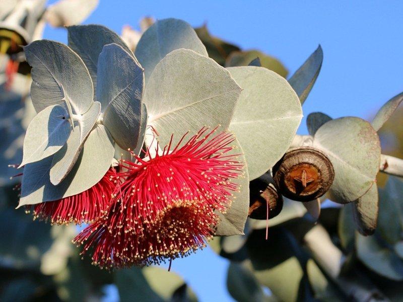Aromathérapie - L'eucalyptus.