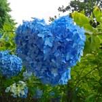 北鎌倉・明月院のアジサイ(2019年)◆境内花巡り◆明月院ブルー