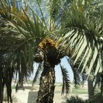 A view of the dates on a date palm.