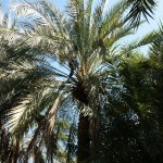 A worker manually pollinating a date palm.