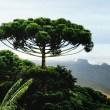Aprovado projeto de Romanelli que estimula o plantio da araucária no Paraná