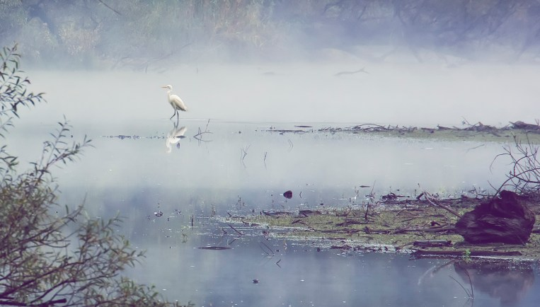 "White heron at ""Le bolle di Magadino"""
