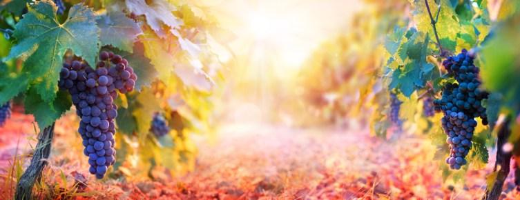 raisin dans la vigne, fruits frais Supermaché Marché Frais