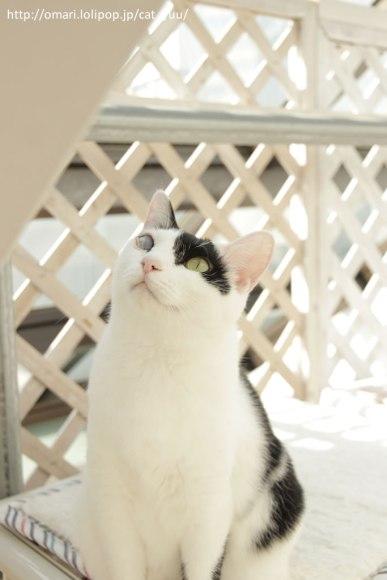 梁を見つめるアシンメトリーハチワレ猫