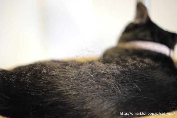 背中に抜け毛がのっているキジトラ猫のゆう
