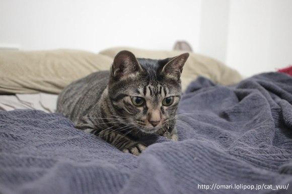 ベッドの上でじゃらしを狙うキジトラ猫のゆう その2