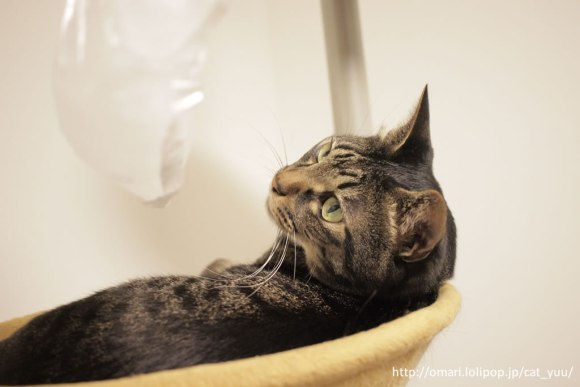 再び袋を見つめるキジトラ猫のゆう