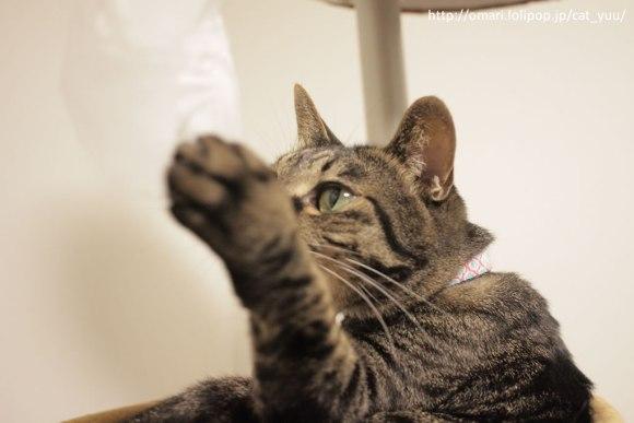 今度は袋を触ってみるキジトラ猫のゆう
