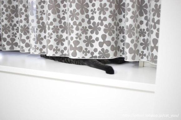 カーテンからのぞくキジトラ猫のゆうのしっぽ