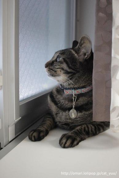 窓の外を見つめるキジトラ猫のゆう
