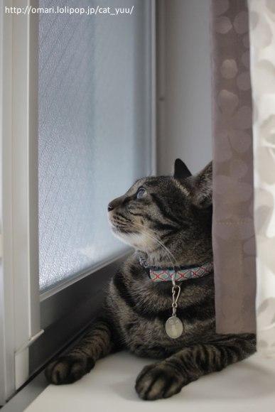 再び窓の外に目をやるキジトラ猫のゆう